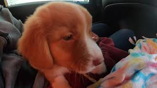 Bringing Home Our Puppy Rocky