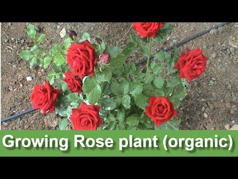 Growing Rose plant (organic) | my new rose plant | how to grow rose plant |