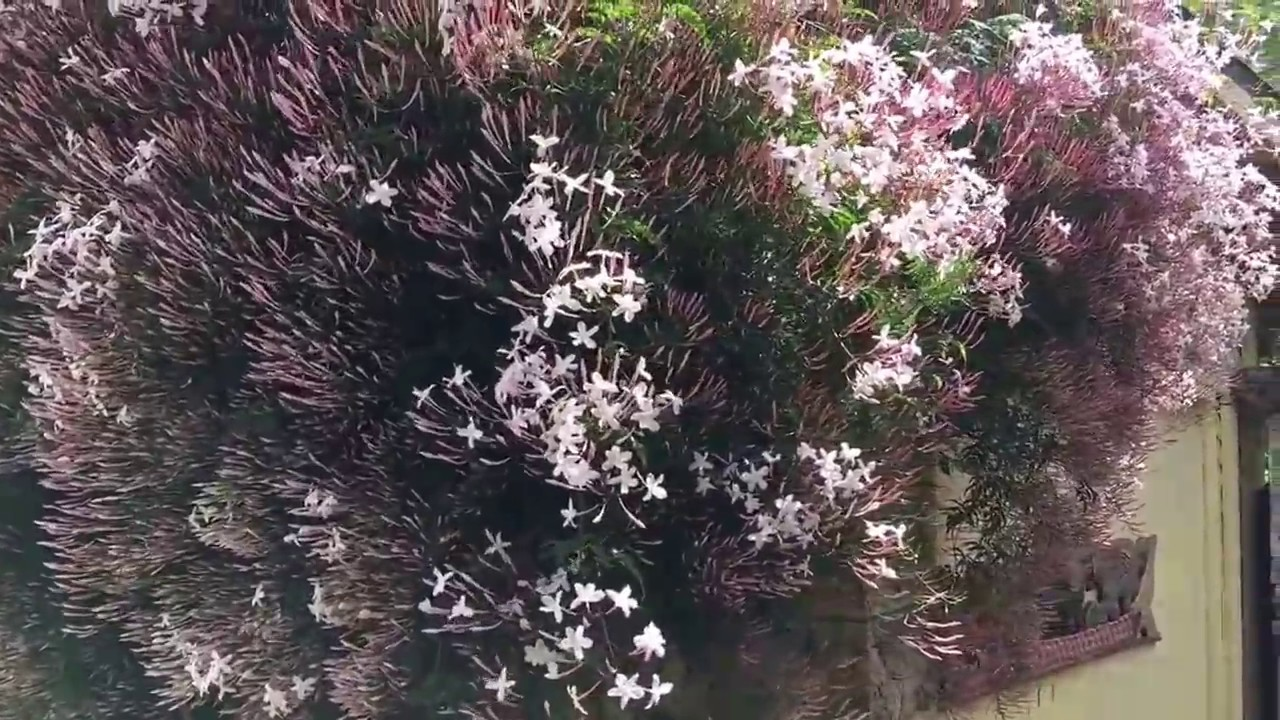 Fairies In Bloom Within The Jasmine Flowers Smell The Feng Shui In