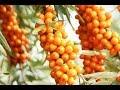 Sea buckthorn के उपयोग हिंदी में - biosash | sea buckthorn juice uses