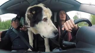 Пранк огромная собака в такси
