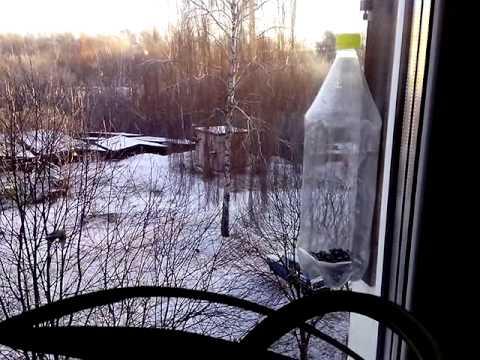 Вопрос: Почему в эту зиму не видать снегирей?