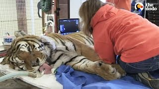 LIVE: Rescue Tiger Gets Vet Exam at Wild Animal Sanctuary | The Dodo Live