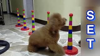 DOG TRAINING : LEARNING THE BASICS OF WEAVE AGILITY 20200410