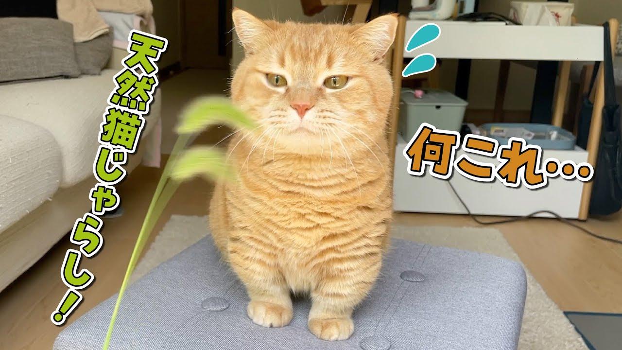 天然の猫じゃらしにドン引きしちゃった家猫!w