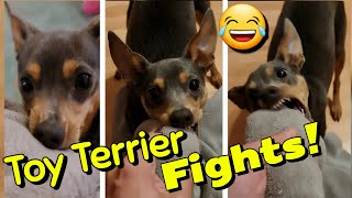 Fighting with Toy Terrier for a towel . The Dog grumbling