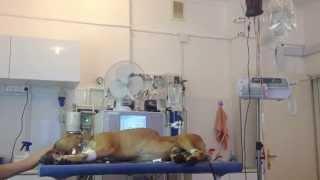 Гемодиализ у собаки при ХПН (хроническвя почечная недостаточность). Клиника ОТВЕТ.