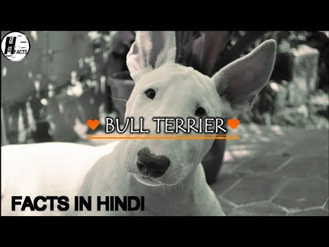 Bull Terrier Dog Facts | Hindi | Dog Facts | HINGLISH FACTS