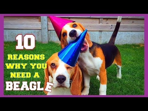 Top 10 Funny Beagle Facts You need To Know : Funny Beagles Louie & Marie