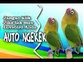 Full Satu Jam Terapi Lovebird Ngekek Panjang Dengan Relaksasi Suara Gemericik Air Ngeban(.mp3 .mp4) Mp3 - Mp4 Download