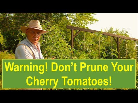 Warning! Don't Prune Your Cherry Tomatoes! (NOT) Pruning Tomato Plants for Maximum Yield!