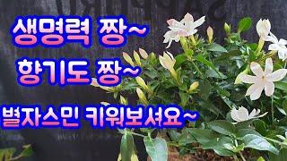 베란다정원야생화키우기,차이나자스민,별자스민,야생화짱~2…