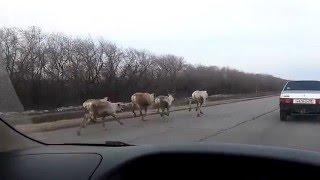 Северные олени бегут в Омск
