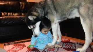 Siberian Husky Fights With Baby For Toy!