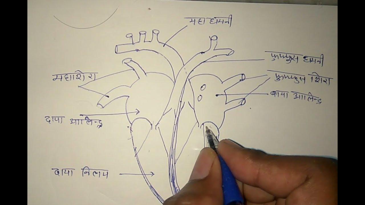 मानव हृदय की संरचना,human heart structure ,हृदय का सरल ...