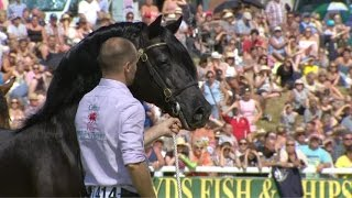 Cobiau Cymreig - March hŷn | Welsh Cobs - Senior Stallion