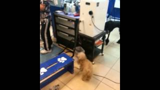 Yorkshire Terrier Takes On Standard Poodle.