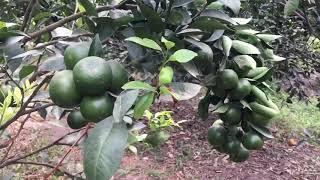 Vườn cam triệu quả   Minh tv