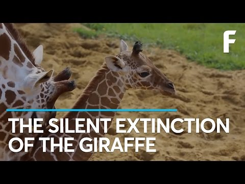 The Latest Casualty of Mass Extinction Events? Giraffes.