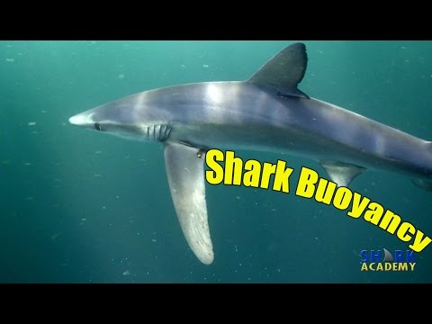 Shark Buoyancy | SHARK ACADEMY
