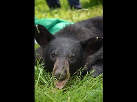 DC Bear Released to the Wild