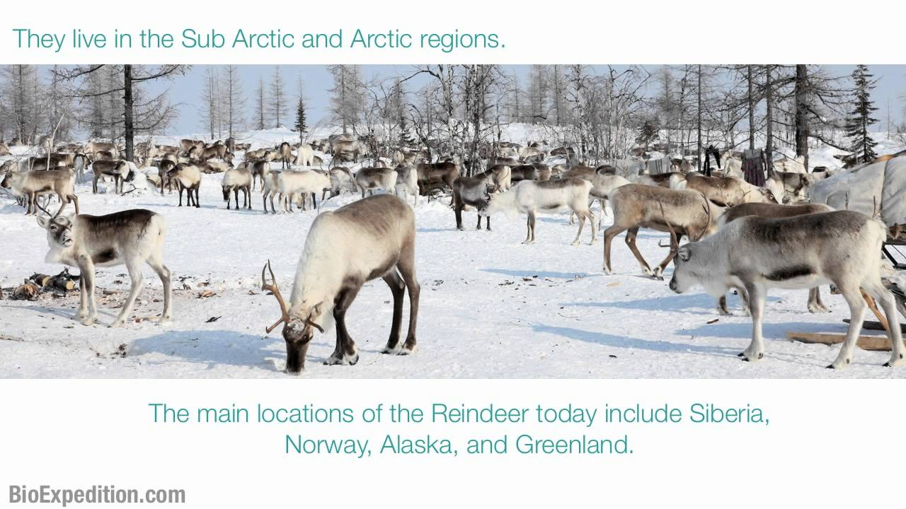 information about reindeer youtube