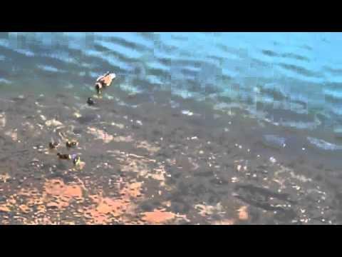 нападение щуки на утку видео