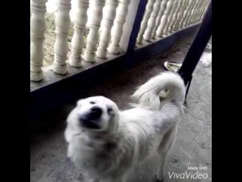 dog dancing on chitiya kalaiya song