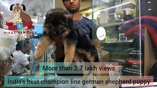 CHAMPION LINE German Shepherd Puppy VikasPetShop