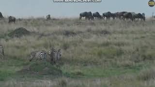 Na sawannie Afryki -świat zwierząt Afryki ,, Safari