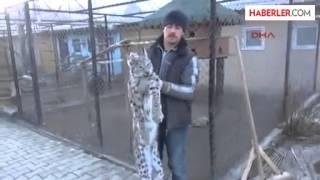 Erzurum Yaralı Vaşak Kurtarılamadı
