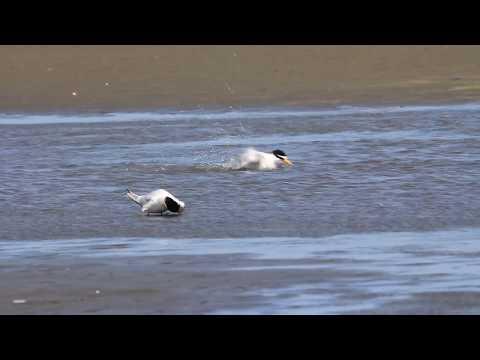 The Little tern takes a bath, 小燕鷗洗澡