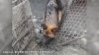 Pseudohodowla owczarków niemieckich w Wilkanowie.  Uwaga! drastyczne zdjęcia