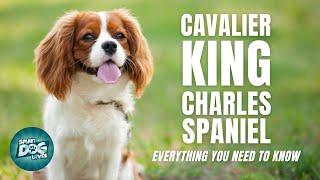 Guía de raza de perro Cavalier King Charles Spaniel | Perros 101  Cavalier King Charles Spaniel