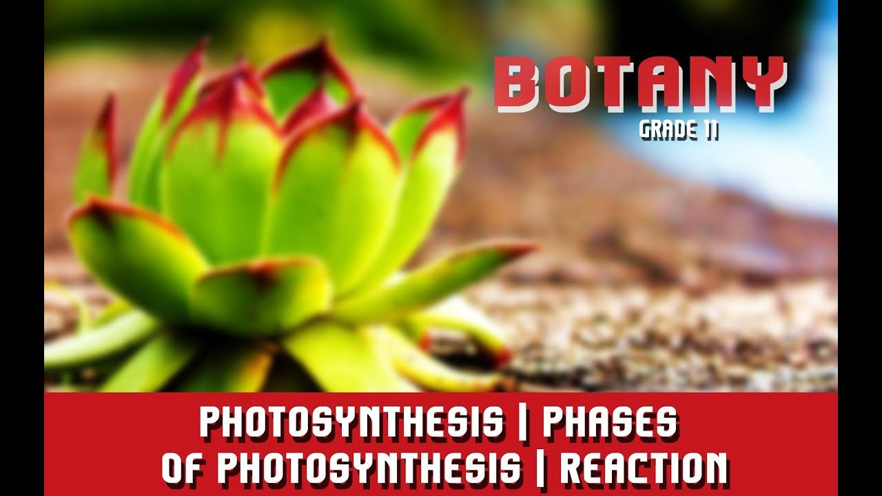 Photosynthesis Phases Of Photosynthesis Reaction Steps