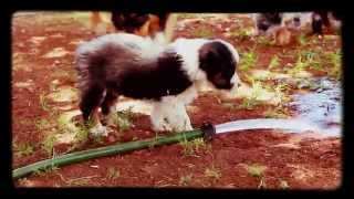 Lazy D Ranch aussie puppies at play