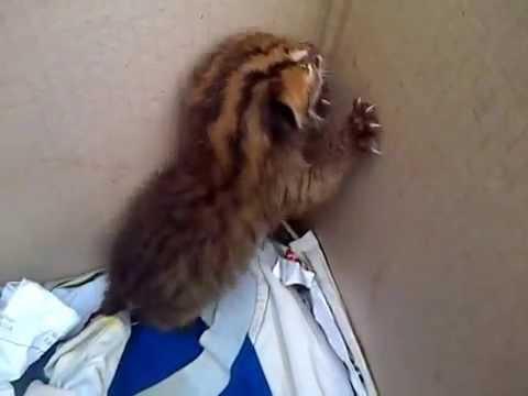 Tangisan Anak Kucing Hutan (Bikin Merinding)