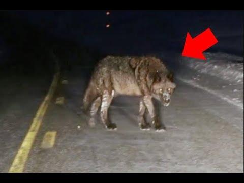 8 Жутких Встреч с Волками, Снятых На Камеру