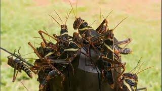 invasão de gafanhotos em minas gerais