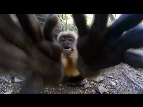 The most dangerous capuchin in the world attacks