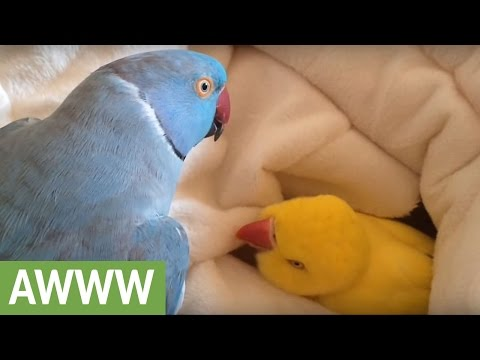 Adorable Parrot Finds Getting Out Of Bed Too Hard