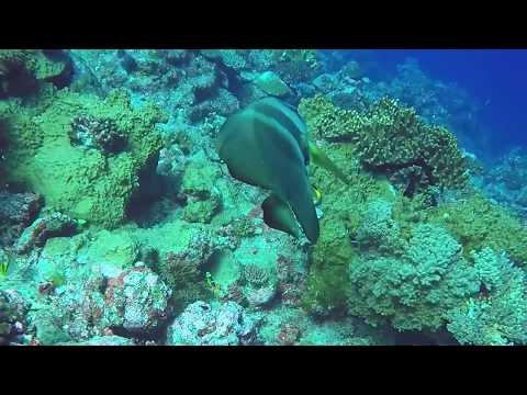 Batfish cleaning station, Fiji - Romancing The Globe Travel Blog