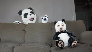 Panda Dog vs Panda: Funny Dog Maymo