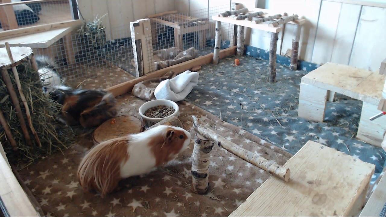 Guinea Pig Stream German