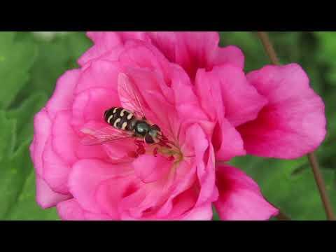 """Тульские пряничные пеларгонии: """"Unicorn zonartic rose"""""""