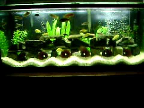 african cichlid lake malawi aquarium youtube. Black Bedroom Furniture Sets. Home Design Ideas