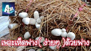 เพาะเห็ดฟางง่ายๆ  ใช้ทุนน้อยผลผลิตสูง(ตอนที่1)รายได้เสริม.How to mushroom