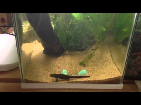 Basic care for newts ! (Old vid)
