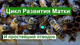 Пасека # 83  Цикл Развития Матки - Пчеловодство для начинающих