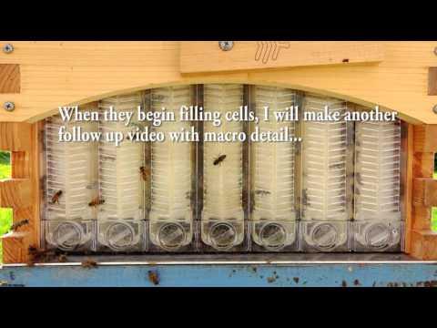 Flow Hive Update Honey Bee workers chew through